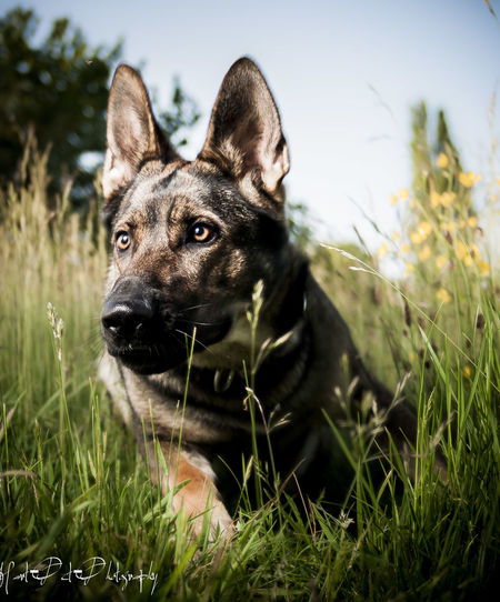 Blue Sky Dog Down Low And Dirty German Shepherd GSD Pet Pets Photography Working Dog