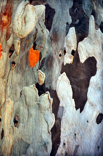 Full frame shot of eucalyptus tree bark