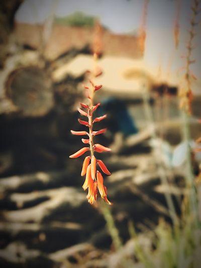 ÄłOvêra Fłôwėr Winters Bloom Morning First Eyeem Photo #iPhone 7 Plus