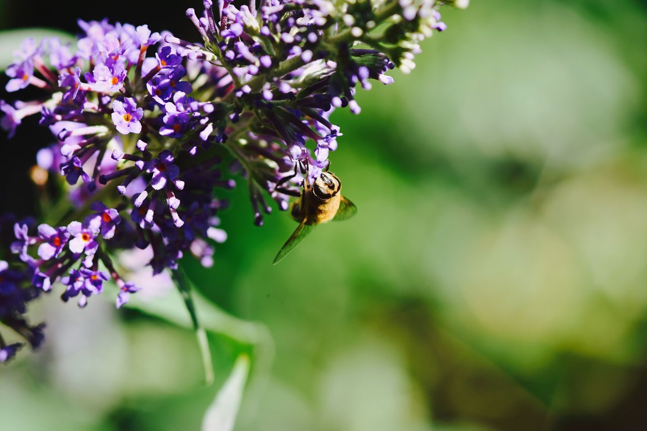 insect, one animal, animals in the wild, animal themes, bee, flower, nature, animal wildlife, fragility, pollination, purple, beauty in nature, symbiotic relationship, no people, freshness, day, honey bee, outdoors, plant, buzzing, focus on foreground, growth, close-up, bumblebee, flower head