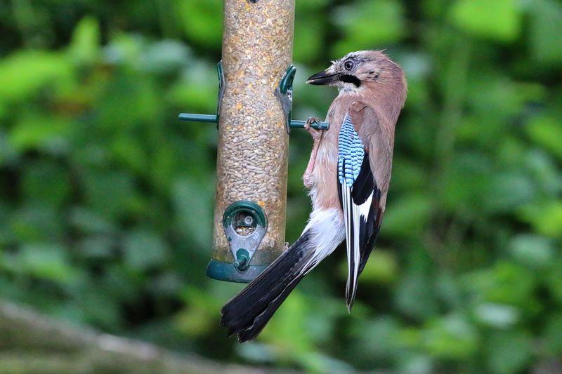 Jay bird on bird feeder