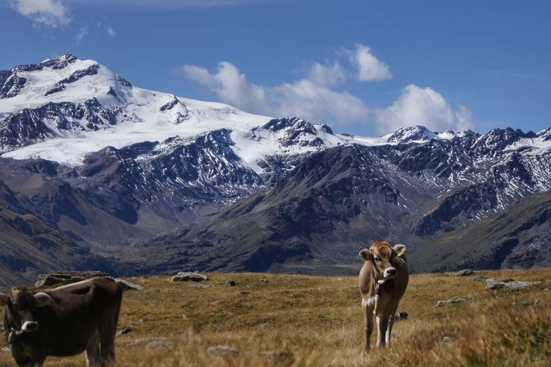 Horse on field against snowcapped mountains