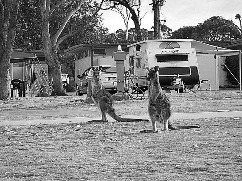 Animal Themes Australia & Travel Black And White Photography Caravan Park Day Everyday Life Kangaroos Mammal Merimbula Outdoors Tree Nature On Your Doorstep Life Is A Journey Original Photography Natural Beauty Living Life Photography Is My Escape From Reality! Man Made Object Inspirations Everywhere. Man Made Structure Black & White Trusting Animals Nature Photography Nature Makes Me Smile