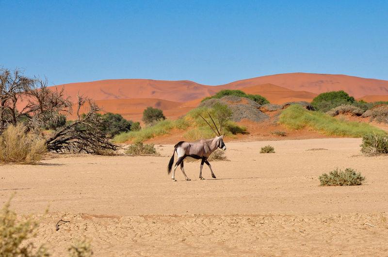 Side view of oryx walking at namib desert