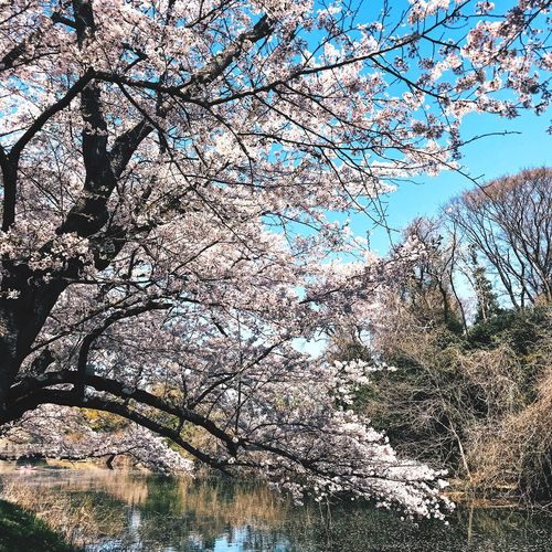Sakura Spring Cherry Blossom Tree Cherryblossom 🌸 Japan Travel Nature Sakura