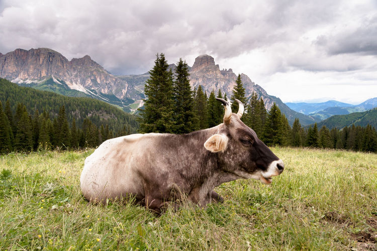 Cow lying down in a mountain meadow