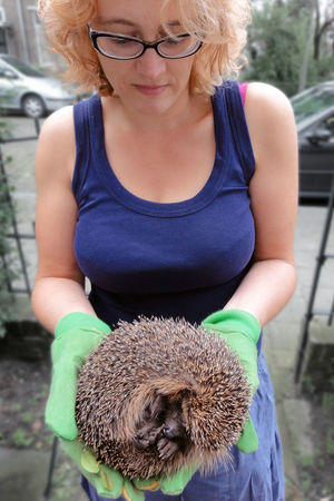 This guy got stuck in our garden fence City Wildlife Gardening Gloves Hedgehog Outdoors Person Prickly Urban Wildlife Handle With Care Carefully Gently Outdoor Casual Caretaker Glasses
