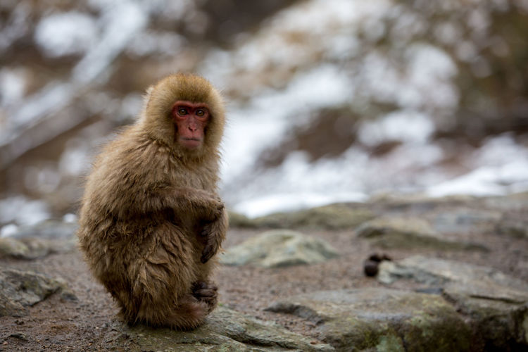 Portrait Of Monkey On Rock During Winter