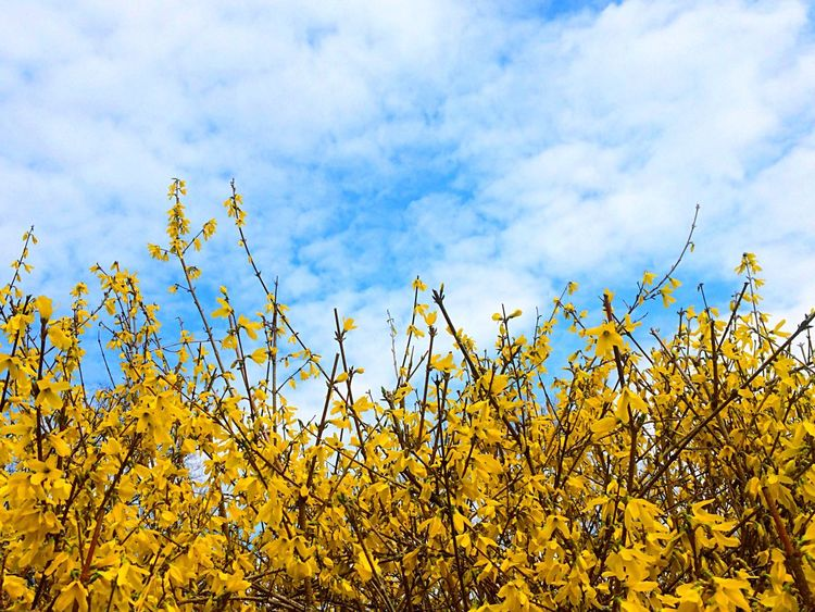 Forsythia Flowers Spring Spring Flowers Flower Collection EyeEm Nature Lover Nature Flower And Sky Spring Into Spring Springtime in New Jersey USA Paint The Town Yellow