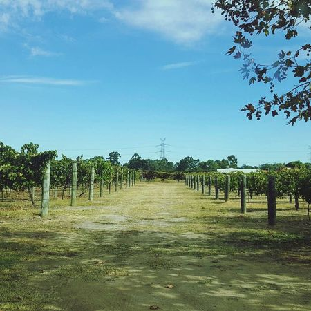 Places I've Been Vineyard Margaret River Region The Tourist Beauty In Nature No Edits No Filters Eyeem2017 Travel Photography Done That.