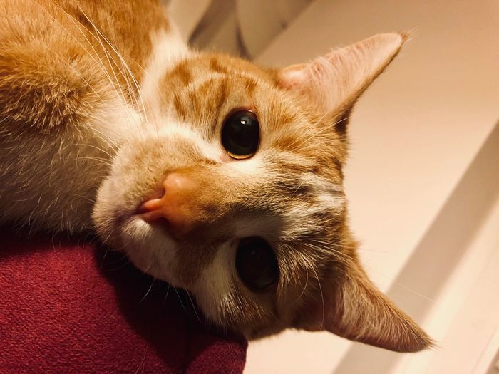 EyeEm Selects One Animal Mammal Animal Animal Themes Domestic Indoors  Domestic Animals Close-up Vertebrate Pets No People Whisker Cat Animal Body Part Feline Portrait Canine Looking At Camera Domestic Cat Home Interior
