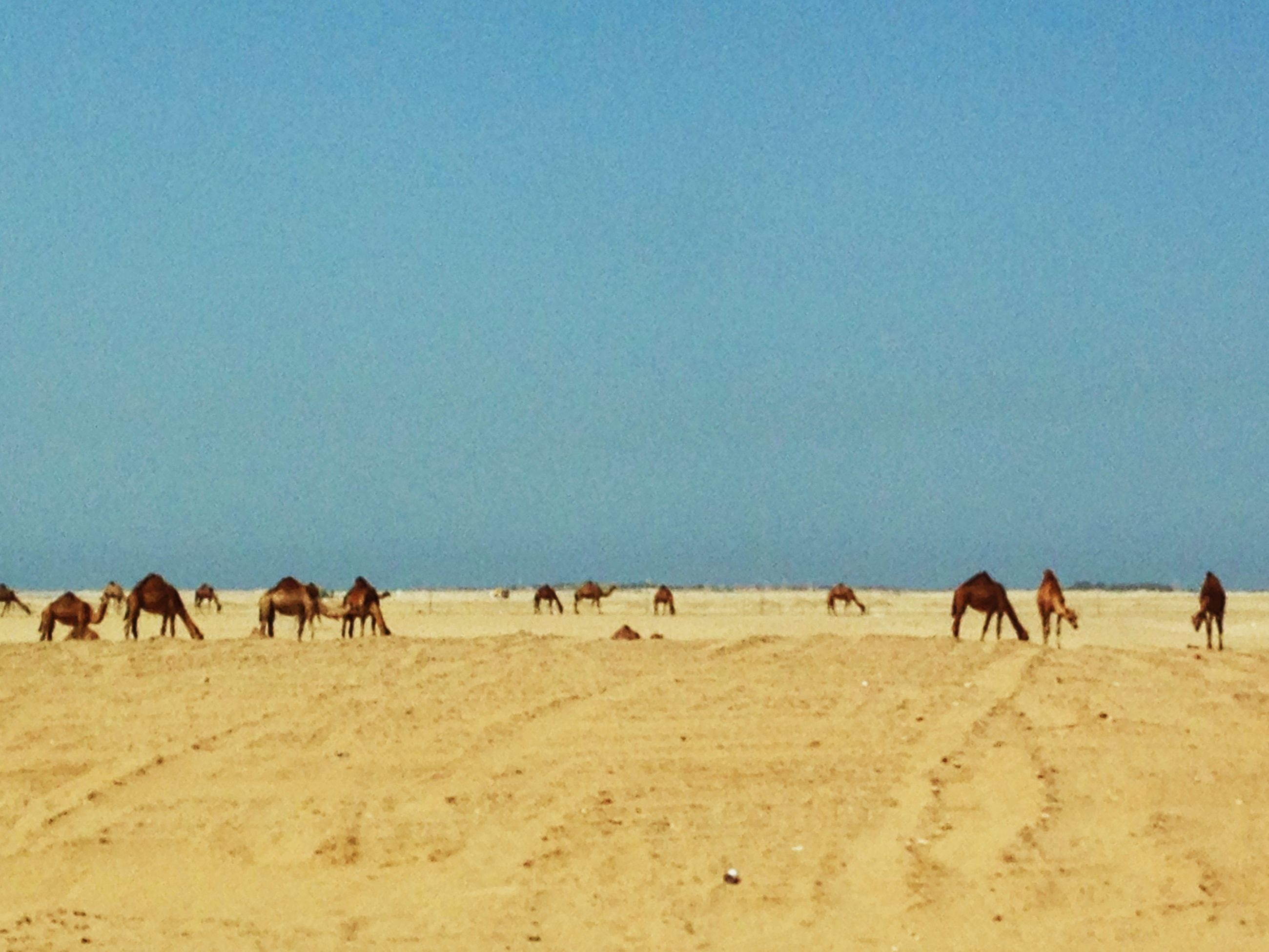 animal themes, domestic animals, livestock, mammal, desert, sand, arid climate, horse, medium group of animals, clear sky, landscape, camel, copy space, herbivorous, herd, working animal, nature, sand dune, zoology