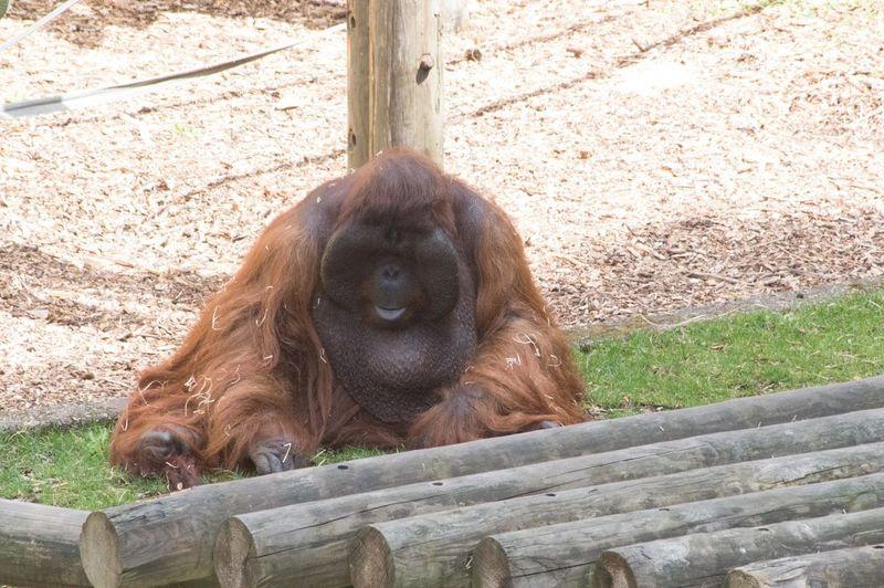Orangutan Great