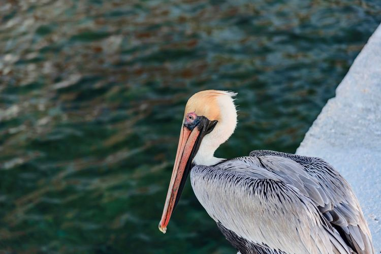 Close-up of pelican on retaining wall by sea