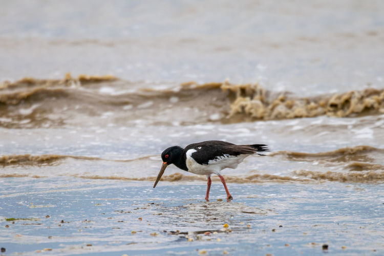 Oyster catcher, haematopus ostralegus, searching food along mud flat coastline of bradwell on sea