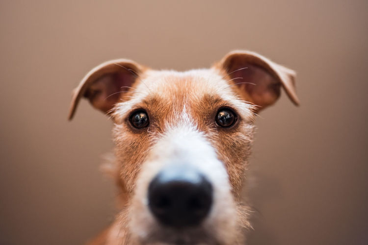 Curious puppy Animal Eye Animal Nose Canine Close-up Colored Background Dog Domestic Domestic Animals Focus On Foreground Indoors  Looking At Camera Mammal No People One Animal Pets Portrait Portraiture Snout Studio Shot