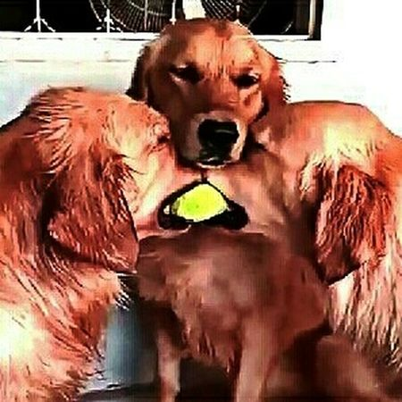 FUNNY ANIMALS Labrador Retriever Play Time Play Together ЛабрадорРетривер забавноефото лабрадор время играть играем вместе мои собаки
