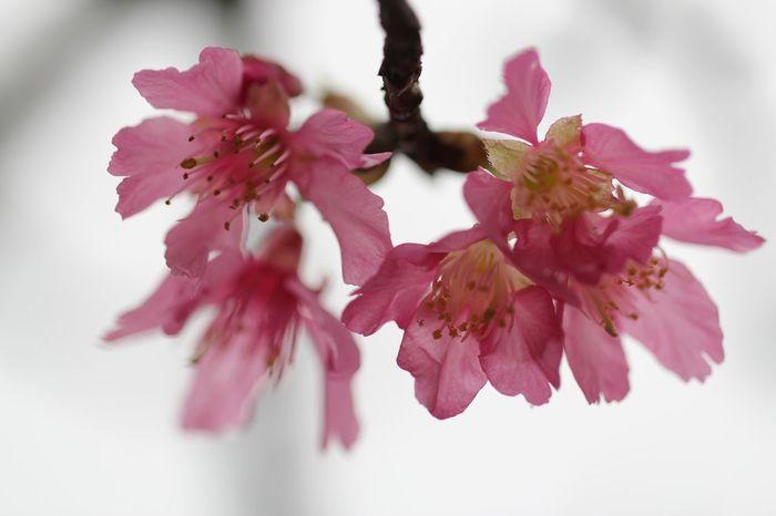 大帽山櫻花