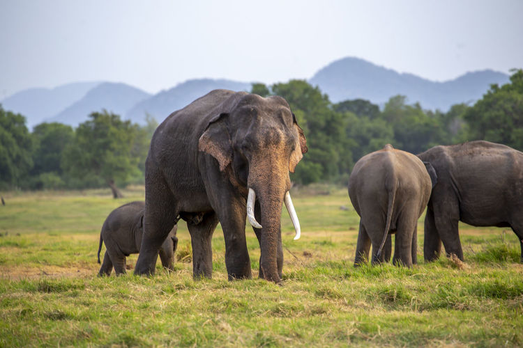Elephant family walking on field