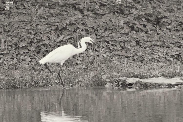 白鹭 Egretta Taihu Lake
