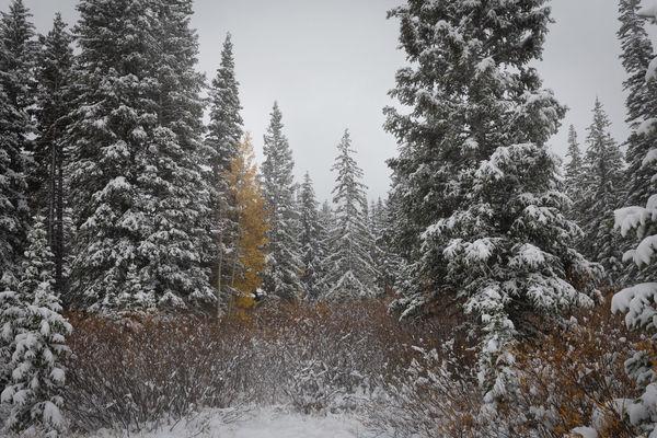 Transition Autumn Fall Utah Utah Scenery Utah Big Cottonwood Canyon Aspen Aspen Trees Tree Snowing Snow Cold Temperature Winter Forest Spruce Tree Snowflake Pine Tree Pinaceae Evergreen Tree Foggy
