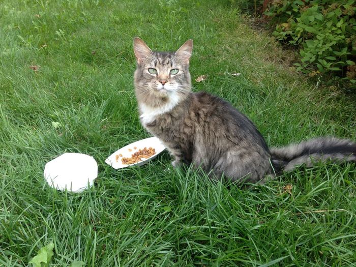 Portrait of cat with food on grassy field