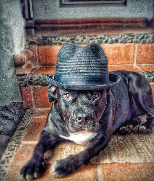 Ganster Dogs Ganster Life OutLaw Dogslife Dogystyle Swaging Dog Lifestyles Portrait Chilling