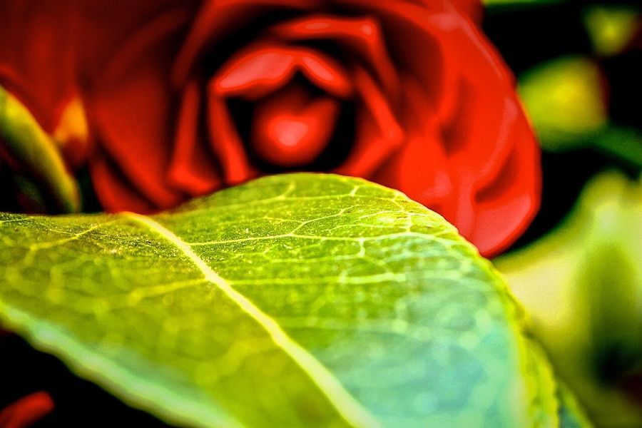 Showcase: February Happy Valentine's Day 2016 Rosé Red Red Rose Red Flower Flower Flower Collection Flower Photography Leaf Green Valentine Valentine's Day  Macro Macro_collection Blurred Out Of Focus Hazy  Vague Shadowy February Love In Love