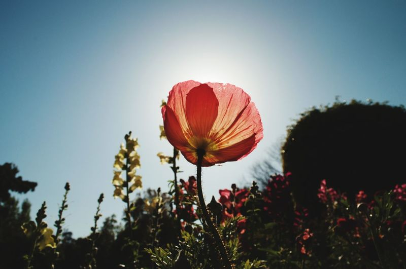 pink poppy with sun behind Spring Springtime Blue Blue Sky EyeEm Selects Botony Southern California SoCal Summertime Garden Summer Flora Sun Sunlight Poppy Flower Red Pink Hot Air Balloon Tree Illuminated Red Sky Close-up Plant