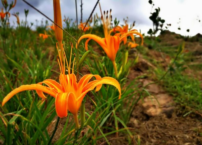 Flower Nature Growth Orange Color Beauty In Nature Petal Freshness Fragility Plant Flower Head Outdoors Field Day Rural Scene Landscape No People Close-up Grass Day Lily Sky