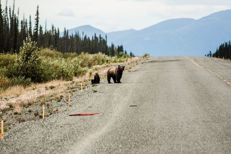 Bears On Road By Mountains Against Sky