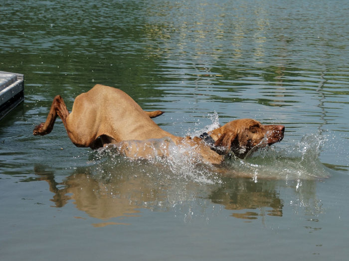 Marlo takes a cooling... Swimming Hund Vizsla Magyar Vizsla Dogslove Fotografia Fotografie Haustier Dogs Of EyeEm Eyeemphotography Pet EyeEmNewHere Water Lake Pets Lake Waterfront Dog