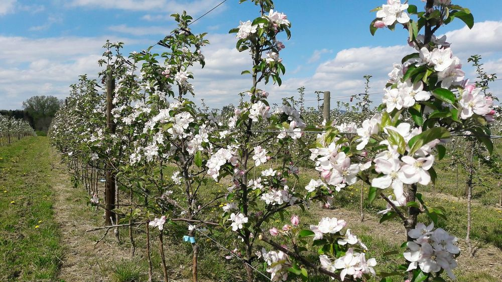 🍎Blossom Nature Growth Springtime Beauty In Nature Fruit Tree Blossoms Fruit Trees Farming Pesticides Monoculture Trees In A Row Plantation Fruitplantation Bees Agriculture Pesticides Kill Bees Cloud - Sky No People Apple Trees In A Row Apple Trees  Rural Scene
