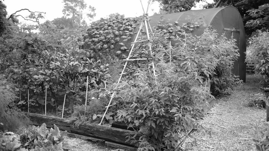 Black & White Black And White Black And White Photography Blackandwhite Blackandwhite Photography Brisbane Community Garden Communitygarden Creeper Plant Day Fujifilm Garden Greenhouse Growth Ivy Monochrome Nature No People Nursery Outdoors Plant Plants 🌱 Public Garden Sky Tree