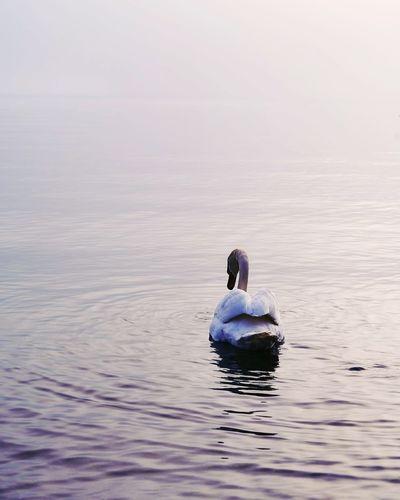 Swan swimming in a lake