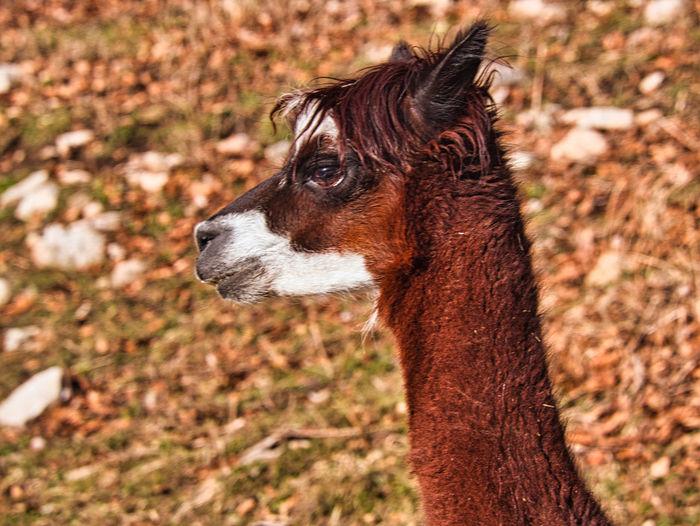 Close-up of a alpaca looking away