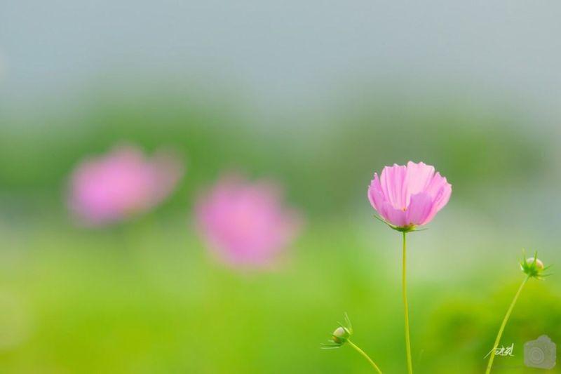 Daejeon Cosmos Flower Sony A77