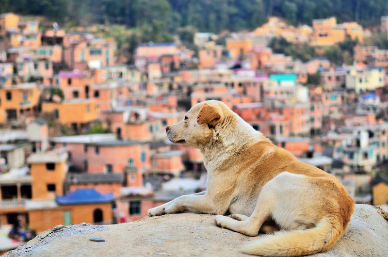 Dog relaxing on rock against townscape