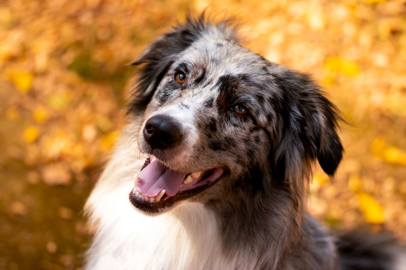 Australian Shepherd Portrait with focus on foreground and orange-brown background Australian Shepherd  Pet Portraits Animal Head  Animal Themes Aussie Autumn Close-up Day Dog Dog Photography Dog Portrait Domestic Animals Focus On Foreground Mouth Open One Animal Outdoors Pets Portrait