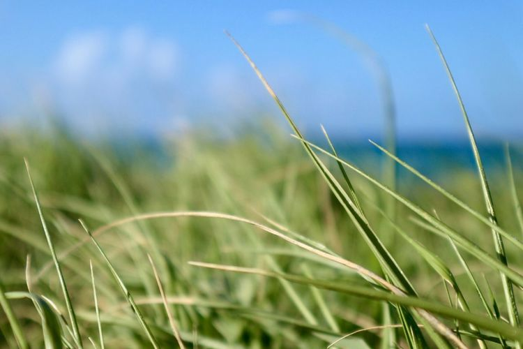 Grass in The Caribbean Jabawokie Bay Antigua And Barbuda Ocean Sky Caribbean Growth Nature Field Grass Day Beauty In Nature Plant Outdoors Crop  Tranquility Ear Of Wheat No People Wheat Agriculture Focus On Foreground Cereal Plant Scenics Close-up Tranquil Scene Sky