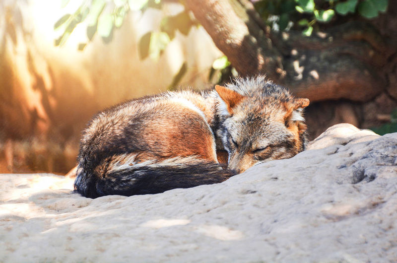 Beautiful golden jackal or Black backed jackal wildlife lying on the rock Africa African Animal Animals ASIA Asiatic  Aureus Backed Background Beach Beautiful Behavior Black Brown Bulgaria Canis  Common Cunning Day Desert Dingo Dog Europe Fox Fur Golden Grass Hunter Indian Jackal Jackals Mammal Mesomelas Namibia National Natural Nature Outdoor Outdoors Park Portrait Predator Romania Safari Scavenger Sossusvlei Southern Thailand Wild Wildlife