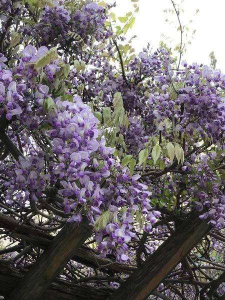 今朝の通勤路にて✨ Flower Blossom Growth Purple Tree Freshness Fragility Botany Branch Nature No People Lilac Beauty In Nature Springtime Day Outdoors Close-up Iphone7 Wish Happy Japan EyeEm Best Shots EyeEm Gallery Fukuoka,Japan 藤の花