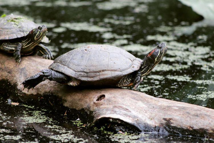 Close-up of turtles on falling tree in lake