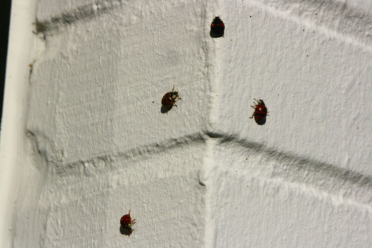 Beetles Life Ladybirds 🐞 Walking Around Wall Black Dots Insects  On The Edge Red Color Go Higher