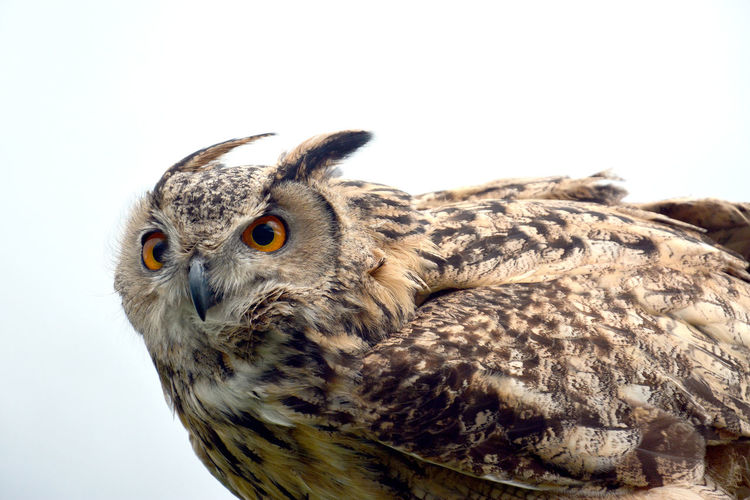 Close-up of owl against clear sky
