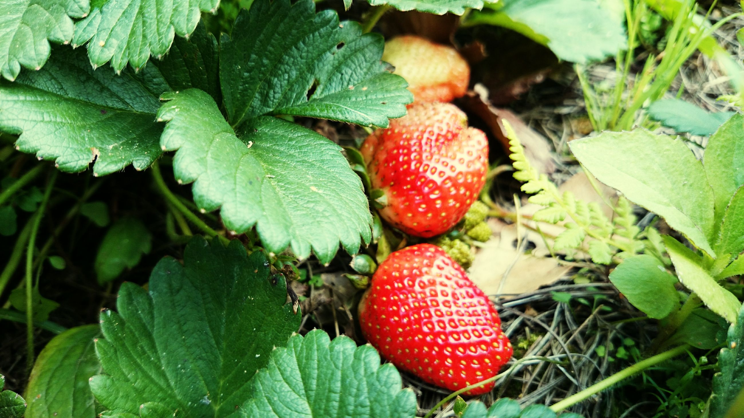 fruit, food and drink, food, red, healthy eating, leaf, freshness, growth, green color, ripe, close-up, tree, berry fruit, growing, nature, agriculture, plant, strawberry, outdoors, day