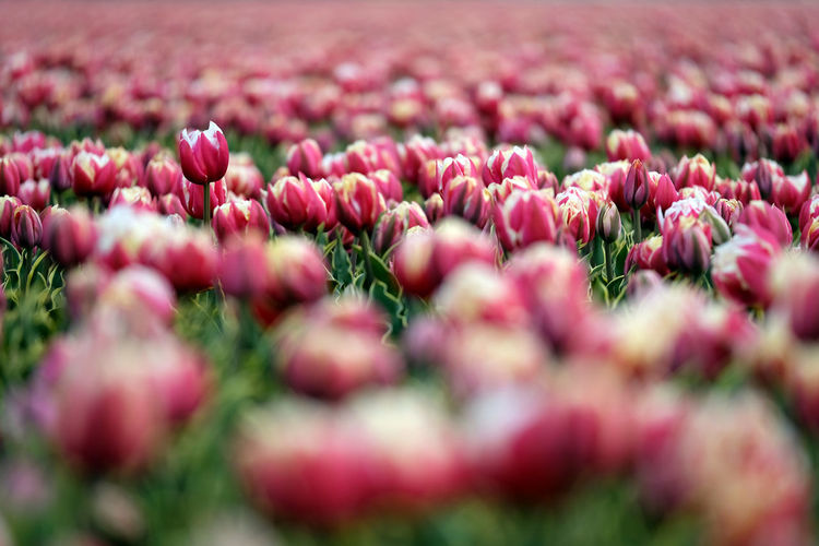 A wide field of tulips. Agriculture Beauty In Nature Blooming Close-up Day Field Flower Flower Head Fragility Freshness Growth Landscape Nature No People Outdoors Petal Pink Color Plant Red Rural Scene Selective Focus Tranquility Tulip Fujifilm FUJIFILM X-T2