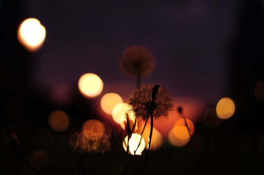Night Flower Illuminated No People Focus On Foreground Nature Beauty In Nature Outdoors Close-up Sky Flower Head Freshness Colour Of Life Autumn Colors Nature In The City Real Photography Nature Beauty In Nature The Week On EyeEm Colorful Dandelion Berlin Bokeh