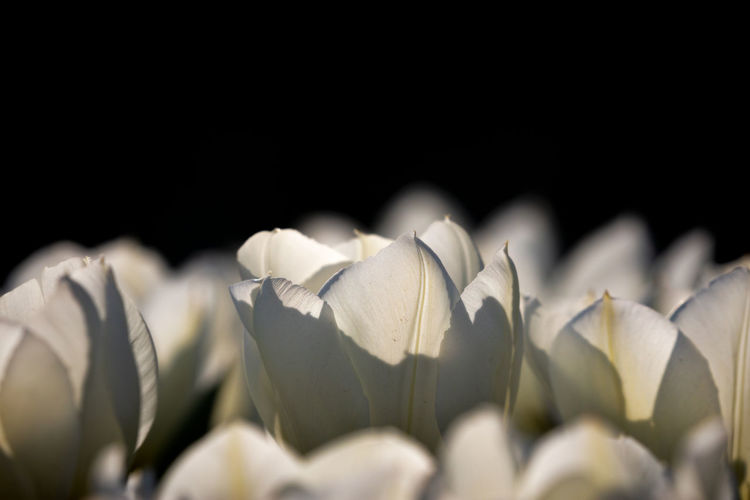 tulips Spring Vulnerability  Close-up Beauty In Nature Freshness Fragility Flower Plant Flowering Plant Black Background Growth White Color Studio Shot Petal Nature Flower Head Selective Focus Inflorescence No People Copy Space Indoors