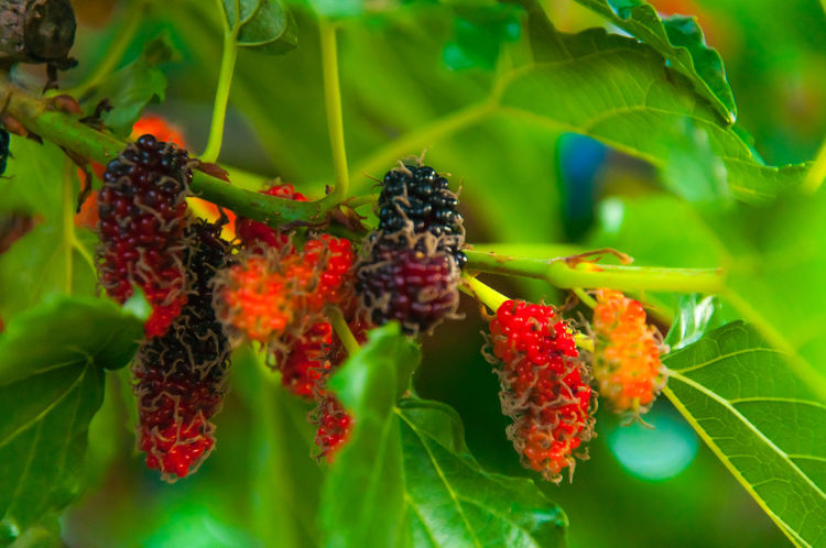 Mulberry fruits Beauty In Nature Berry Fruit Blackberry Close-up Day Focus On Foreground Food Food And Drink Freshness Fruit Green Color Growing Growth Healthy Eating Leaf Mulberry Fruit Mulberry Tree Nature No People Outdoors Plant Raspberry Red Tree